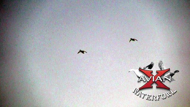Sooner State Daucks • Avian X Waterfowl