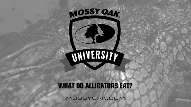 What Do Alligators Eat? • Mossy Oak University