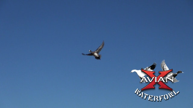 All Access Ducks • Avian X Waterfowl