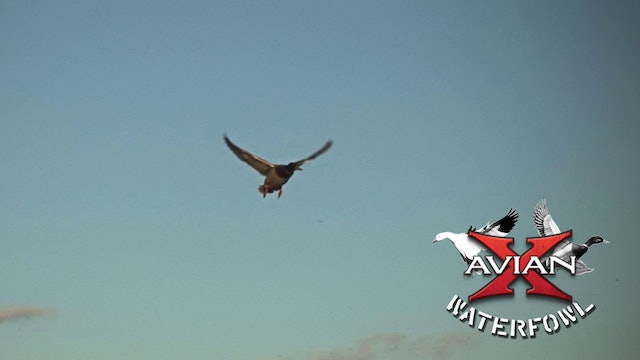 Family Traditions • Avian X Waterfowl