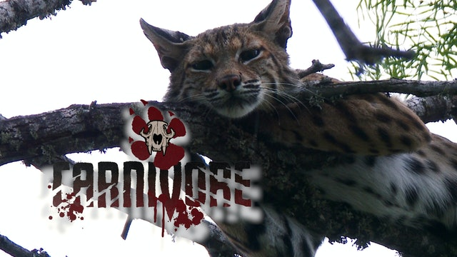 Bullfighter-Cat Chaser • Carnivore
