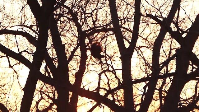 Longhorn Longbeards • Avian X