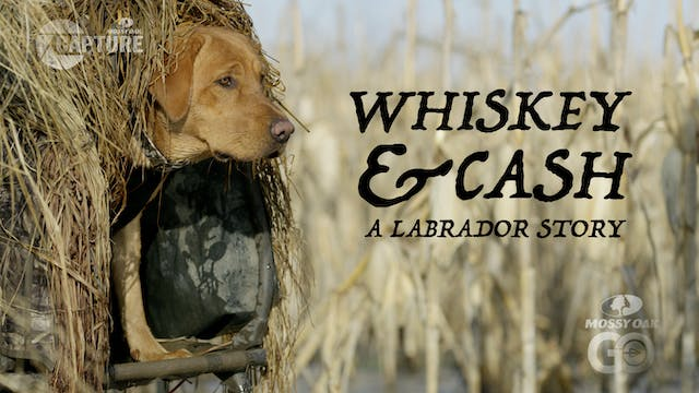 Whiskey and Cash • A Labrador Story