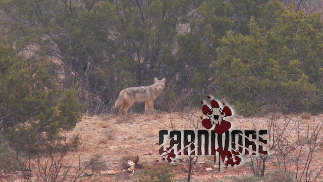 West Texas Coyotes • Carnivore