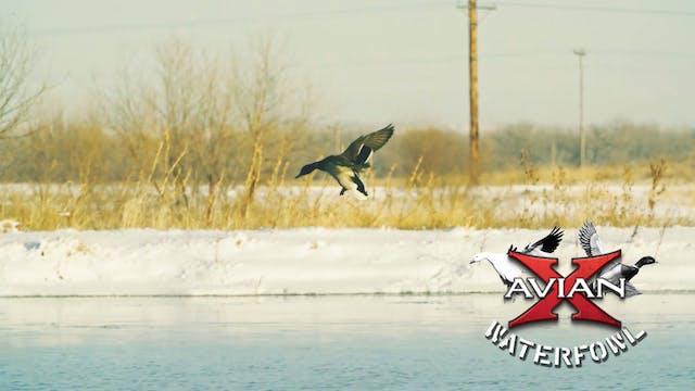 Strange • Avian X Waterfowl