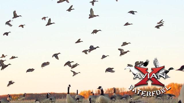 Saskatchewan Mixed Bag • Avian X Waterfowl