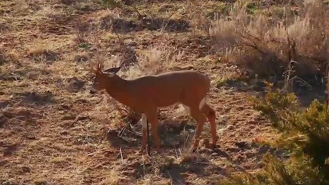 Bucks in Breathing Range • Deer Too Close for Comfort