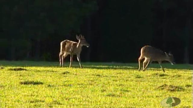 Pine Plantation Bucks