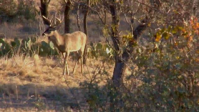 Early Season Bucks of Texas • Fast Tines in the Flats