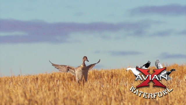 Sunshine Mallards • Avian X Waterfowl