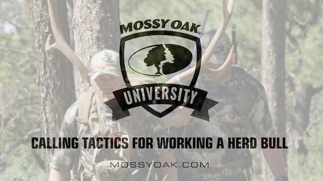 Calling Tactics for Working a Herd Bull • Mossy Oak University