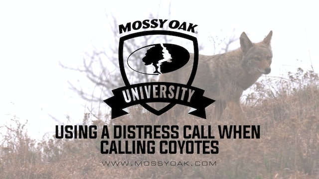 How to Use a Distress Call When Calling Coyotes