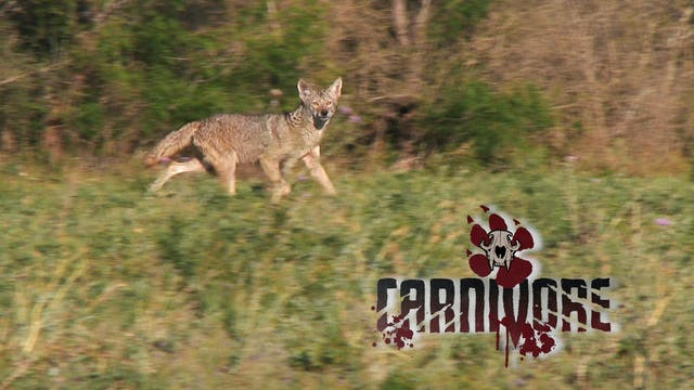 Hot Weather Coyotes • Carnivore