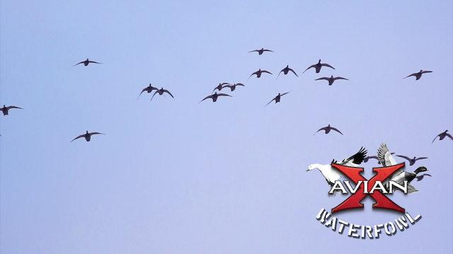 Traditions • Avian X Waterfowl
