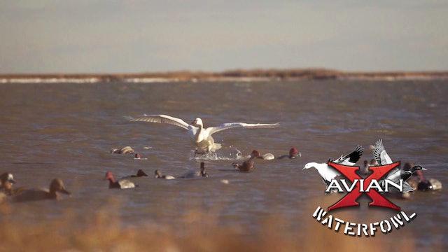 Divers Of The Chesapeake • Avian X Waterfowl
