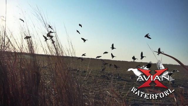 Last Day Blues • Avian X Waterfowl