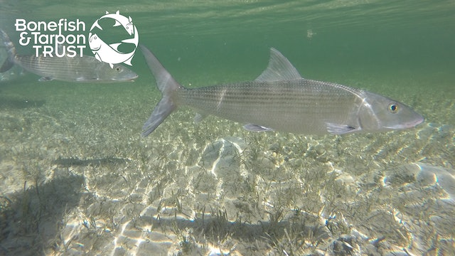 "Bonefish Catch & Release: ""What Not To Do"" Video • Bonefish & Tarpon Trust"