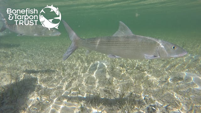 "Bonefish Catch & Release: ""What Not T..."