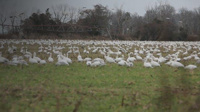 Delaware  Beaver Dam Snow Geese  • DU TV