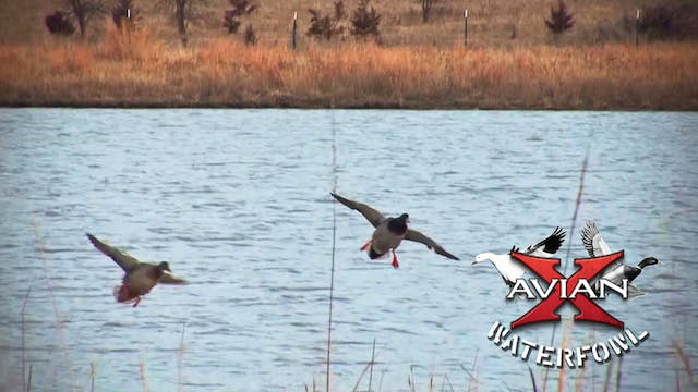 Big Water Kansas Mallards • Avian X W...