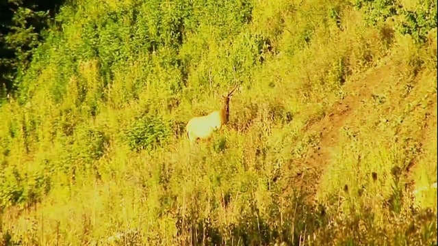 The Heat of the Moment • Elk in the Rockies