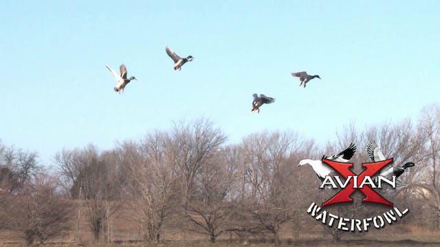 Late Season Mallards • Avian X Waterfowl