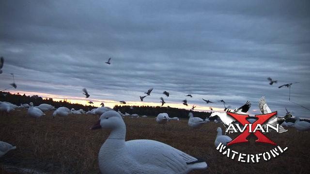 Mid-West Mallards And Canadas • Avian X Waterfowl