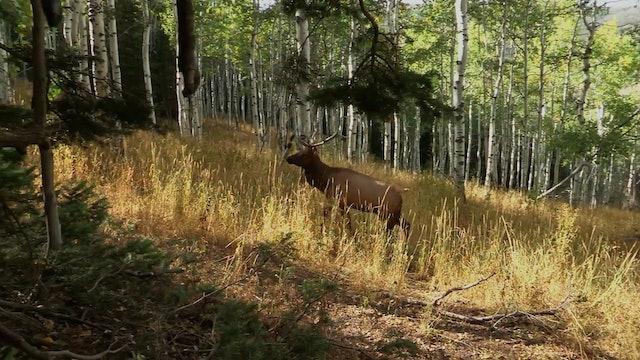 First Elk Ever, Part 1 • Bulls in Utah