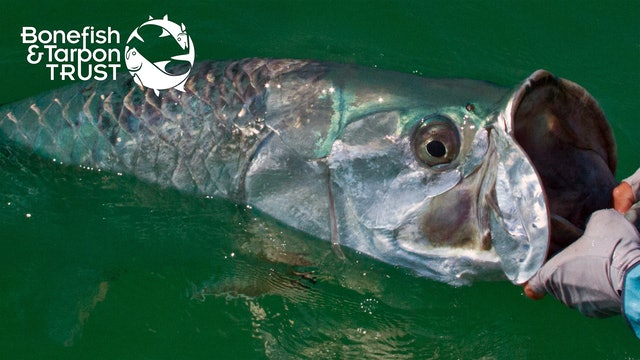 Tarpon Catch & Release Video • Bonefish & Tarpon Trust