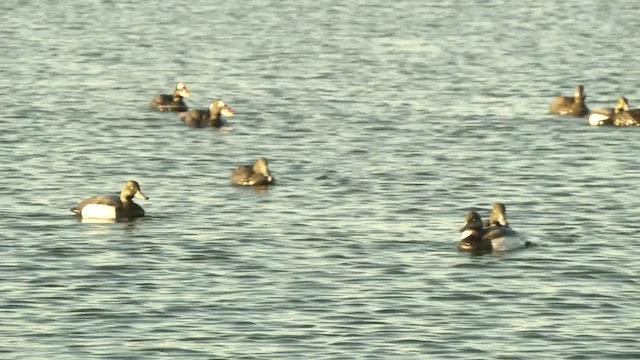 Sea Duck Sampler  • DU TV