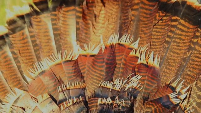 Going Native • Turkeys in Nebraska