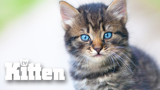 Kitten Slow TV