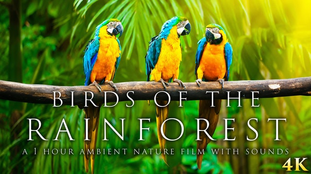 Birds of the Rainforest 4K 1 Hour Dynamic Wildlife Film (Just Nature Sounds)