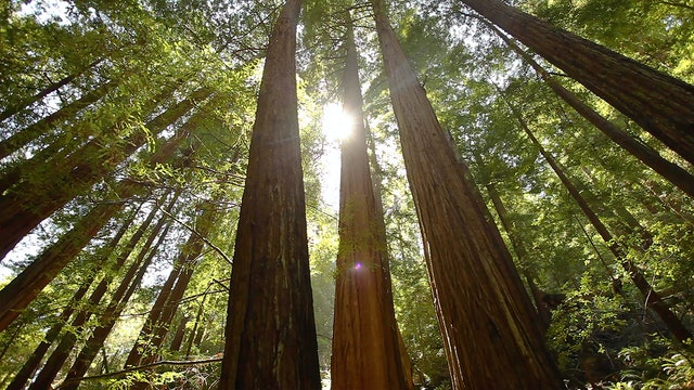 9 Hours of Redwood Forest Rejuvenation (Remastered) with Just Nature Sounds