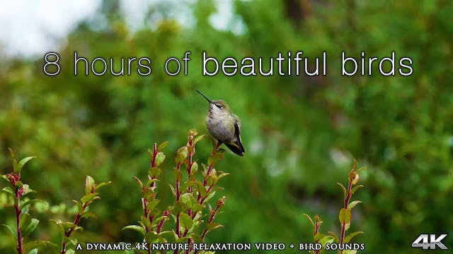 8 Hours of Beautiful Birds (No Music)...