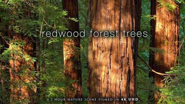Redwood Forest Trees 4K 1 Hour Nature Relaxation cc