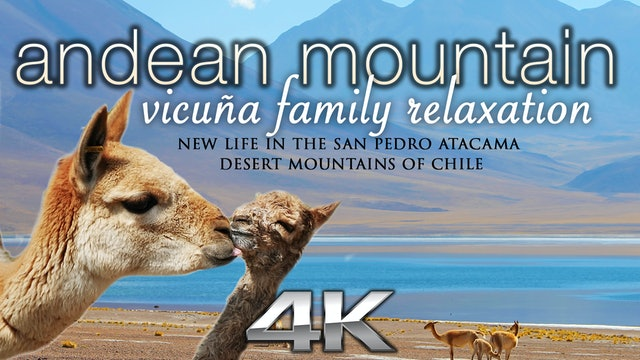 Andean Mountain Vicuña Family Relaxation 25 min Dynamic Video