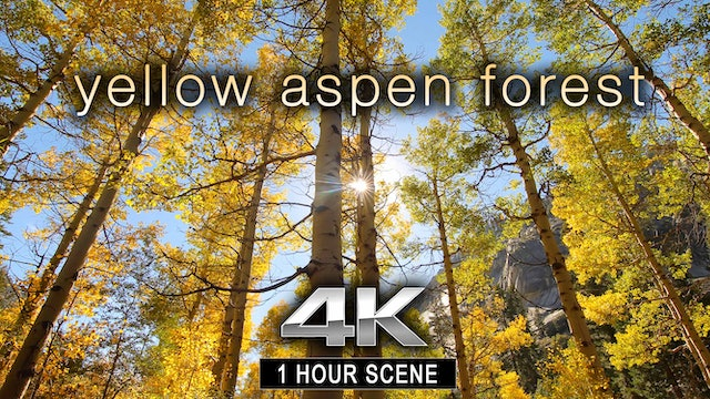 Yellow Aspen Forest 1 HR Static Nature Relaxation
