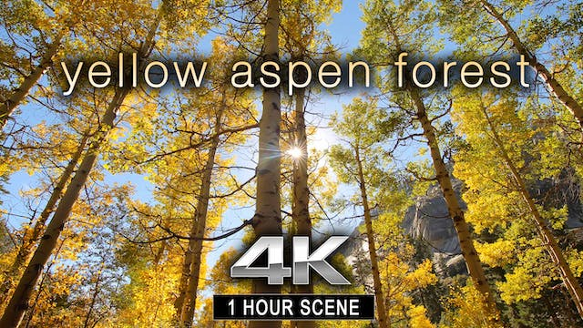 Yellow Aspen Forest 1 HR Static Natur...
