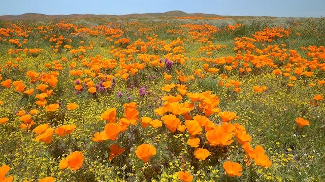 Spring Poppy Field 1HR Static Nature Scene in 4K - Antelope Valley, California