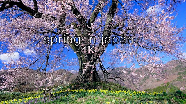 Spring in Japan (+Music) 4K 1HR Natur...