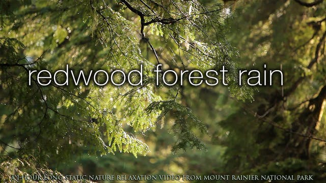 Redwood Forest Rain 1 HR Static Natur...