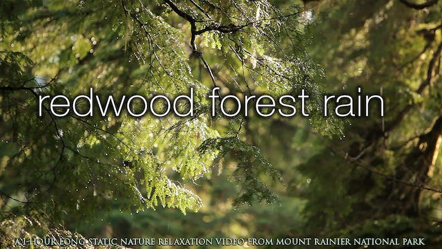 Redwood Forest Rain 1 HR Static Nature Relaxation Scene
