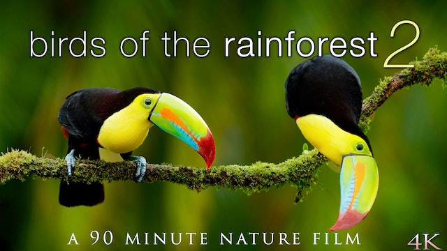 Birds of the Rainforest II 4K 90 Min Nature Relaxation Film