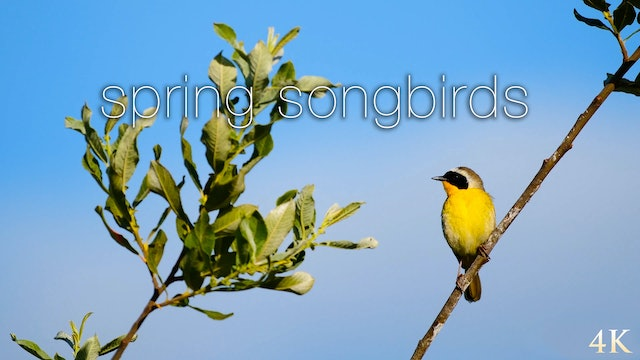 Spring Songbirds 1HR Nature Relaxation Film in 4K (Just Nature Sounds)