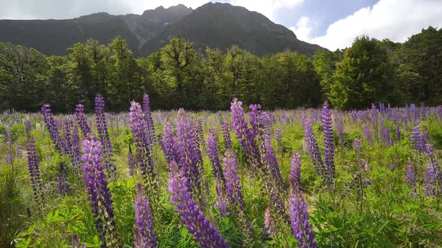 Purple Mountain Wildflowers New Zealand 1HR Static Nature Relaxation Scene