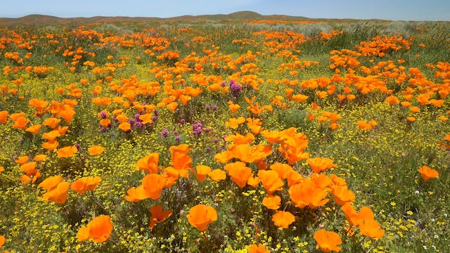 Spring Poppy Bloom 1 Hour Static 4K 5...