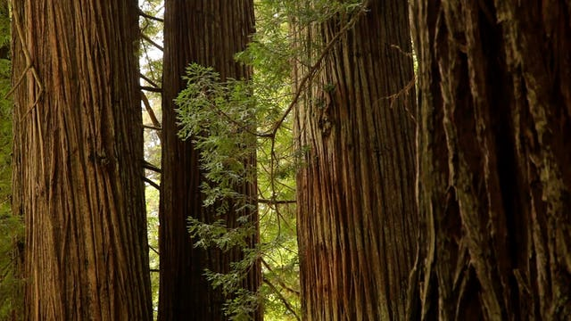 Redwood Forest Relaxation 10 MIN Dynamic Nature Video