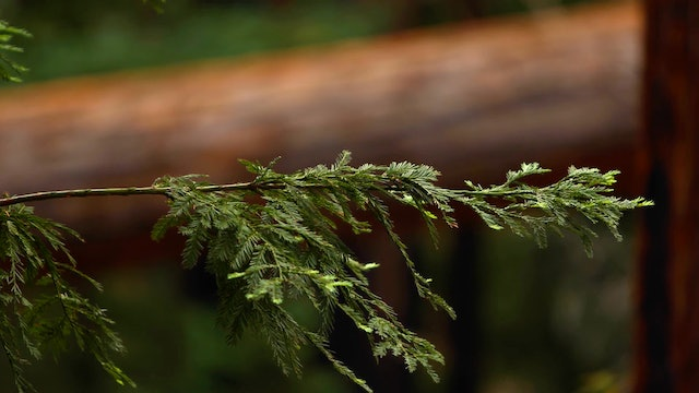 Redwood Forest Pine | 1 HR Static Nature Relaxation Video