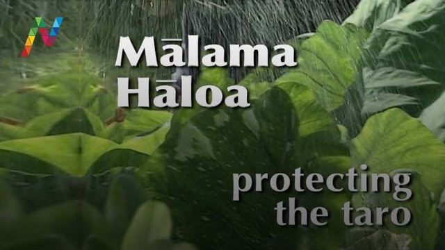 Mālama Hāloa – Protecting the Taro